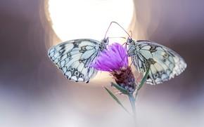 Картинка цветок, макро, свет, бабочки, фон, розовый, бабочка, две, пара, насекомое, парочка, дуэт, боке, близняшки