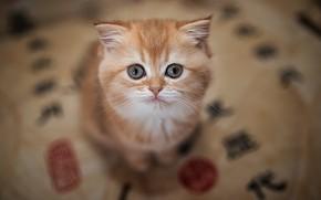 Картинка взгляд, рыжий, мордочка, котёнок