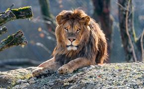 Картинка глаза, взгляд, морда, свет, деревья, ветки, природа, поза, галька, камни, фон, портрет, лев, лежит, зоопарк, …