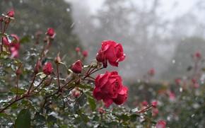 Картинка снег, куст, розы