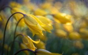 Картинка желтый, бутон, тюльпаны
