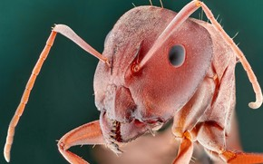 Картинка макро, насекомое, Camponotus vestitus