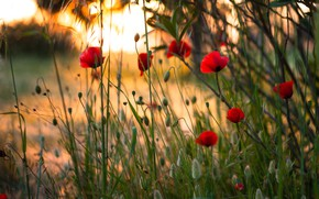 Картинка поле, трава, свет, закат, цветы, мак, маки, красные
