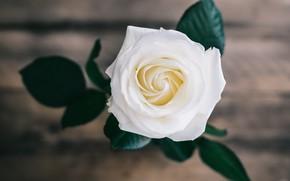 Картинка цветок, листья, фон, доски, роза, белая
