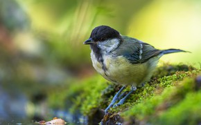 Картинка вода, природа, птица, мох, синица, Tamas Hauk