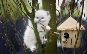 Картинка ветки, природа, животное, весна, скворечник, котёнок, почки, рэгдолл, Monika Koc, Ragdoll