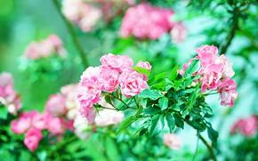 Картинка зелень, листья, цветы, ветки, розы, розовые, много, боке, розочки, розовый куст