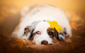 Обои осень, взгляд, морда, листья, желтый, природа, лист, фон, настроение, листва, листок, портрет, собака, лежит, разные ...