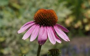 Картинка цветок, summer, flower, липестки, sunny day, эхинацея