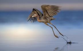 Картинка природа, птица, Egretta caerulea, Little Blue Heron