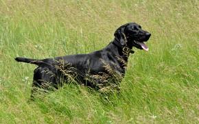 Картинка трава, собака, чёрная