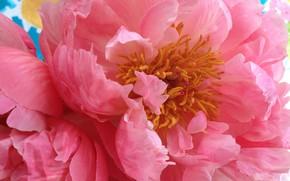 Картинка цветок, макро, розовый, лепестки, пион