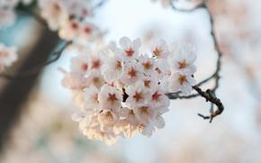 Картинка макро, цветы, ветки, вишня, фон, весна, белые, цветение, боке, в цвету