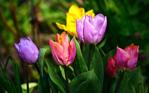 Картинка цветы, яркие, весна, сад, тюльпаны, бутоны, разноцветные