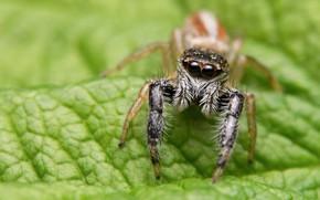 Картинка макро, зеленый, фон, листок, паук, размытие, джампер, прыгунчик