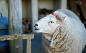 Картинка природа, фон, овца