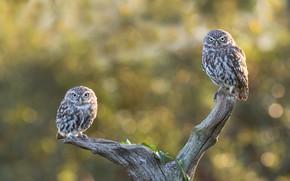 Картинка птицы, ветки, поза, сова, две, пара, коряга, совы, парочка, дуэт, боке, сыч, сычи