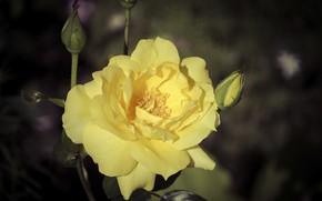 Картинка цветок, темный фон, роза, желтая роза