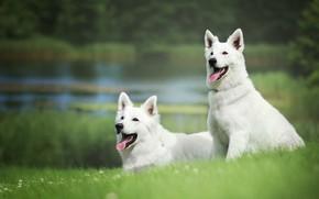 Картинка зелень, собаки, лето, трава, берег, щенки, пара, белая, друзья, водоем, швейцарская овчарка
