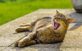 Картинка кот, лежит, зевает
