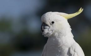 Картинка белый, взгляд, темный фон, птица, портрет, попугай, боке, хохолок, какаду