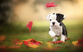 Картинка листья, щенок, бульдог