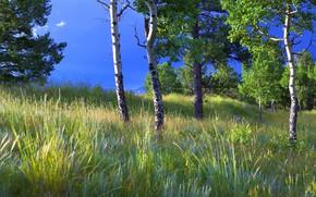 Картинка лето, трава, деревья, ветки, синева, поляна, листва, осины