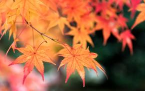 Картинка leaves, autumn, листья, дерево, colorful, клен, осень, maple