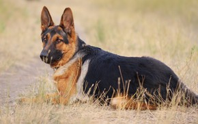 Картинка взгляд, друг, собака, овчарка