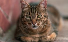 Картинка кошка, кот, взгляд, морда, поза, серый, фон, портрет, лежит, полосатый, боке, размытый фон
