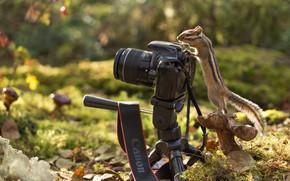 Картинка осень, лес, природа, листва, гриб, бурундук, зверёк, грызун, фотокамера