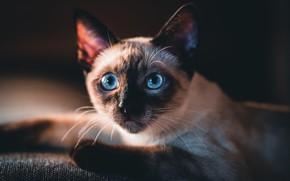 Картинка кошка, кот, взгляд, морда, лежит, черный фон, голубые глаза, сиамский