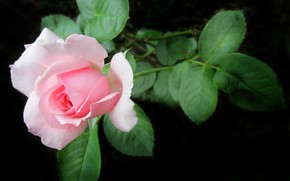 Картинка цветок, розовая, роза, лепестки