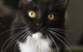Картинка кошка, кот, чёрно-белая