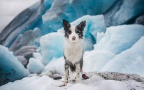 Картинка лед, зима, снег, лёд, собака, ледник, щенок, льдины, сидит, бордер-колли, пестрый