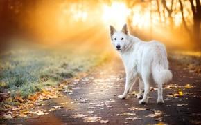 Картинка дорога, осень, трава, взгляд, листья, лучи, свет, деревья, поза, парк, листва, плитка, собака, белая, тротуар, ...