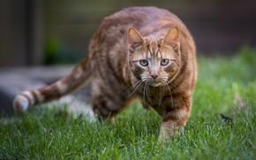 Картинка трава, кот, взгляд, рыжий