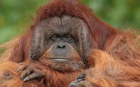 Картинка взгляд, морда, портрет, шерсть, обезьяна, Орангутан