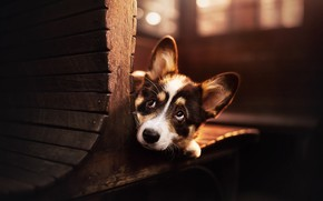 Картинка взгляд, собака, мордашка, пёсик