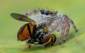 Картинка глаза, макро, поза, муха, фон, паук, добыча, прыгун, джампер, паучок, прыгающий паук, членистоногое