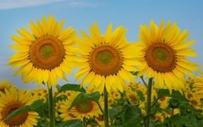 Картинка поле, подсолнухи, трио, солнышки