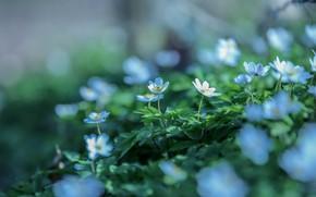Картинка цветы, фон, поляна, размытие, весна, голубые, белые, полевые, боке, лесные, ветреница