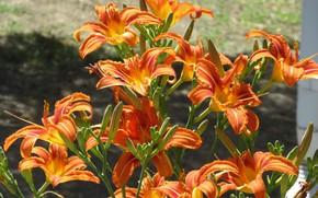 Картинка цветы, куст, оранжевые, лилейники, Mamala ©, лето 2018