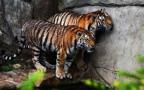 Картинка взгляд, тигр, камни, стена, пара, тигры, мокрые, два, водоем, зоопарк, два тигра, после купания