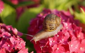 Картинка лето, макро, свет, цветы, улитка, размытие, ракушка, розовые, рожки, боке, гортензия