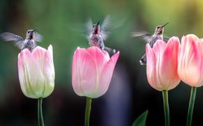 Картинка цветы, птицы, колибри, тюльпаны, три, птички, розовые, трио