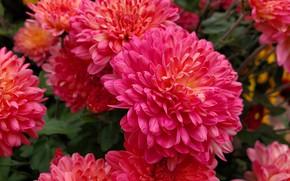 Картинка цветы, сад, красные, розовые, хризантемы, боке