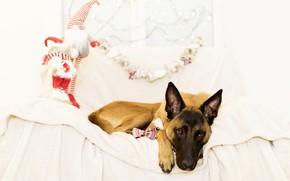 Картинка праздник, игрушки, новый год, рождество, собака, подарки, овчарка, малинуа