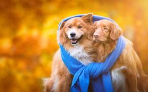 Обои осень, собаки, тепло, фон, шарф, щенки, дружба, пара, золотой, рыжие, парочка, друзья, единство, порода, две ...