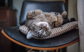 Картинка кошка, кот, релакс, мордочка, стул, расслабон, котейка